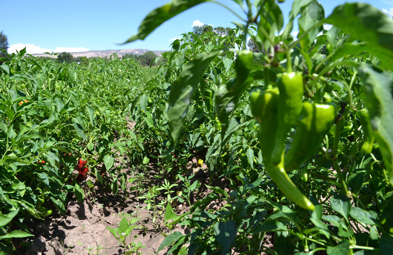 Pepper field near Hotel Chimayo de Santa Fe.