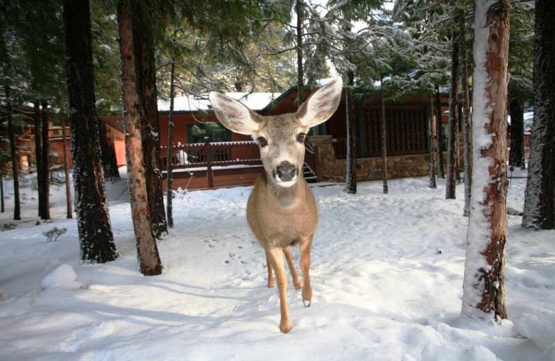 Deer at Mount Shasta Resort.