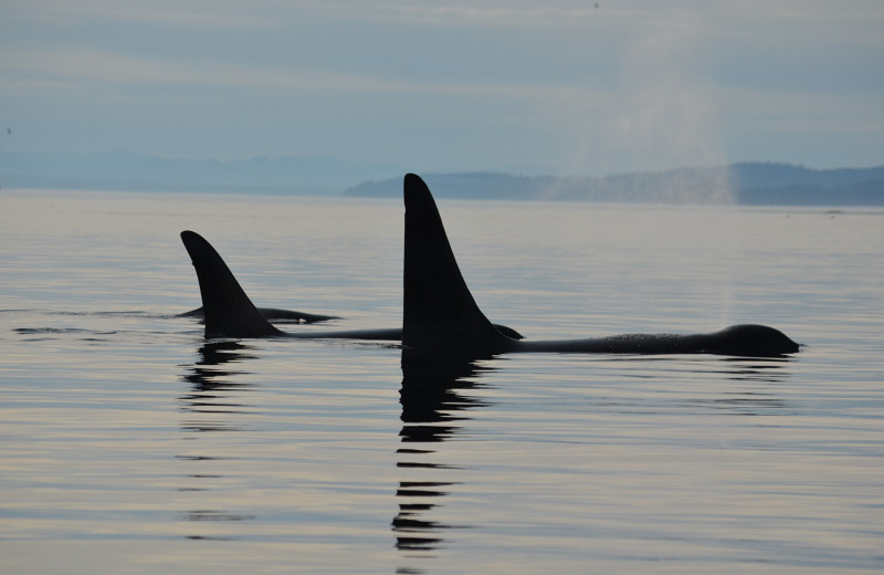 Killer whales at Grizzly Bear Lodge & Safari.