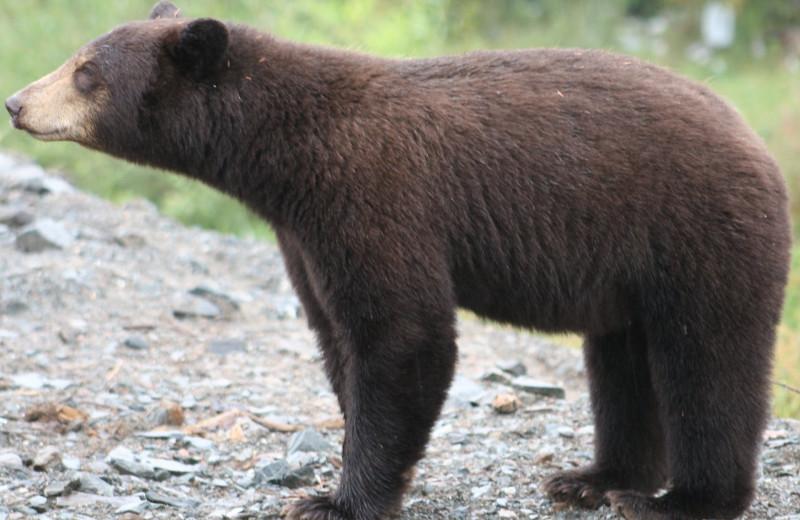 Bear at Bakers Narrows Lodge.