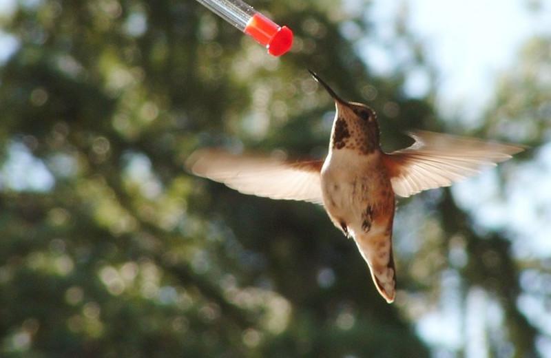 Hummingbird at Cheechako Cabins.