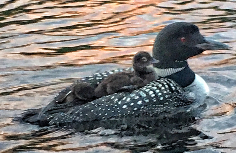 One of our resident loons with her babies on her back.