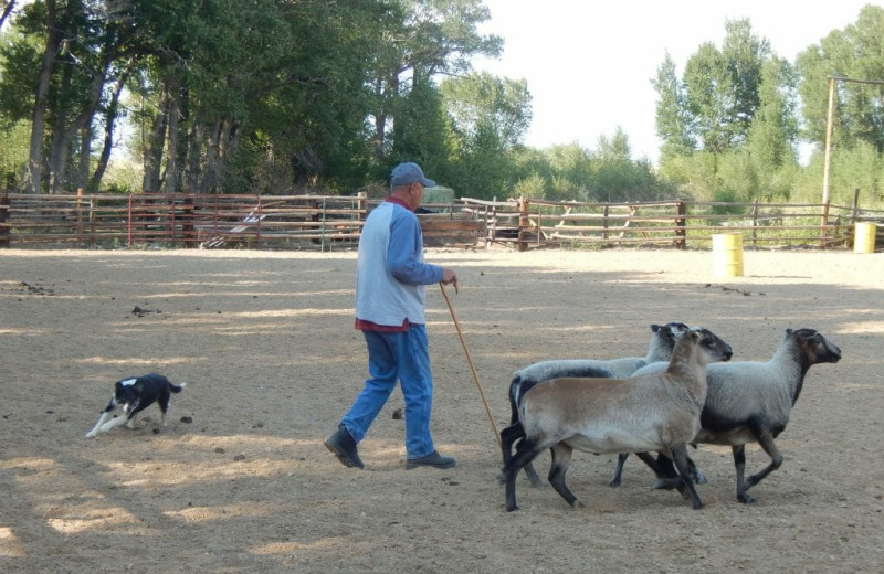 Goats at Vee Bar Guest Ranch.
