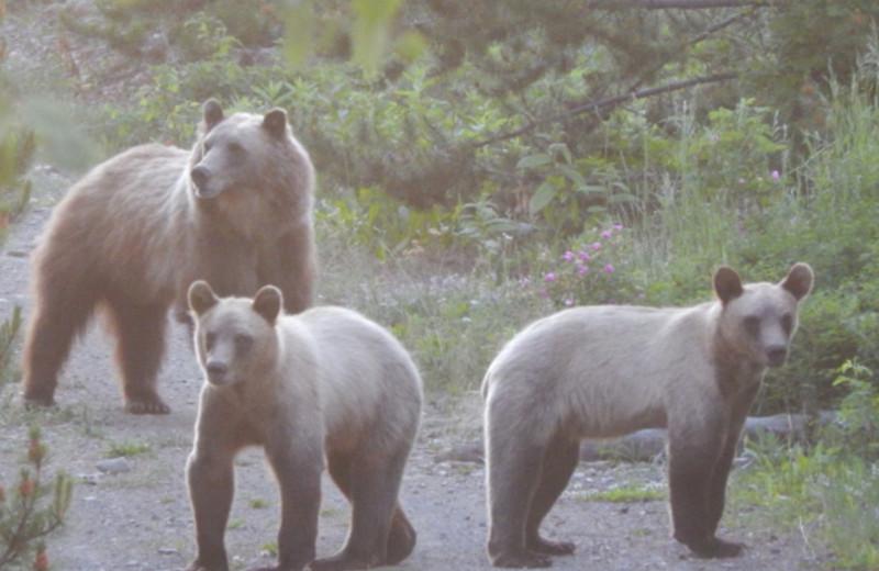 Bears at Chaunigan Lake Lodge.