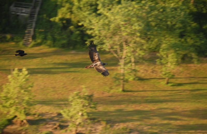Hawk at The White River Inn.