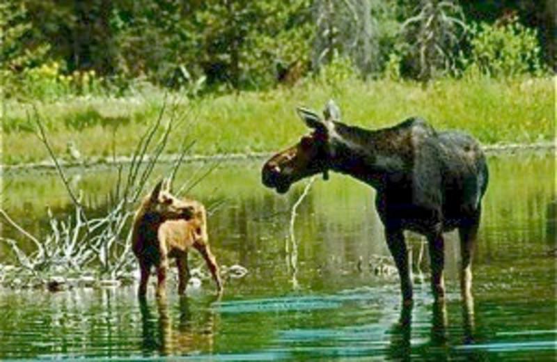 Moose Wading in Water near Moose Head Ranch