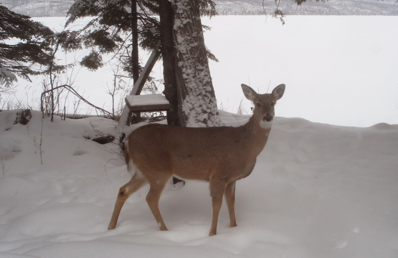 Deer at Heston's Lodge.