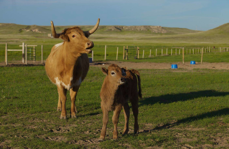 Cattle at Colorado Cattle Company Ranch.