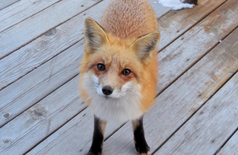 Fox at Moosehorn Resort.