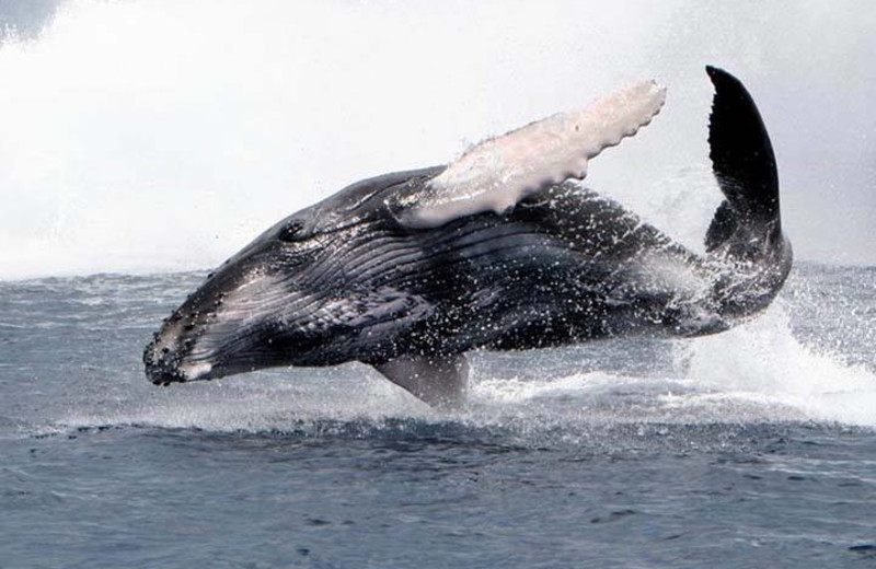 Humpback whale at The Divine Dolphin.