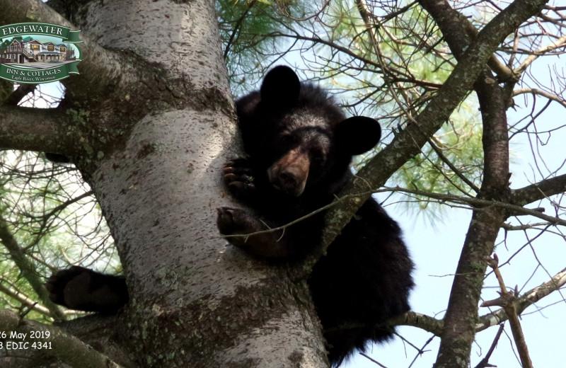 Black bear at Edgewater Inn & Cottages.