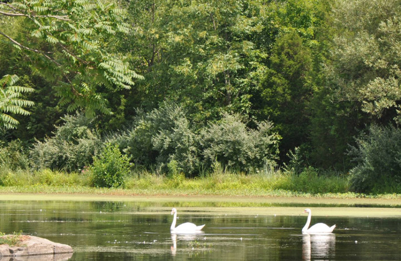 Swans on the lake at Eisenhower Hotel & Conference Center.
