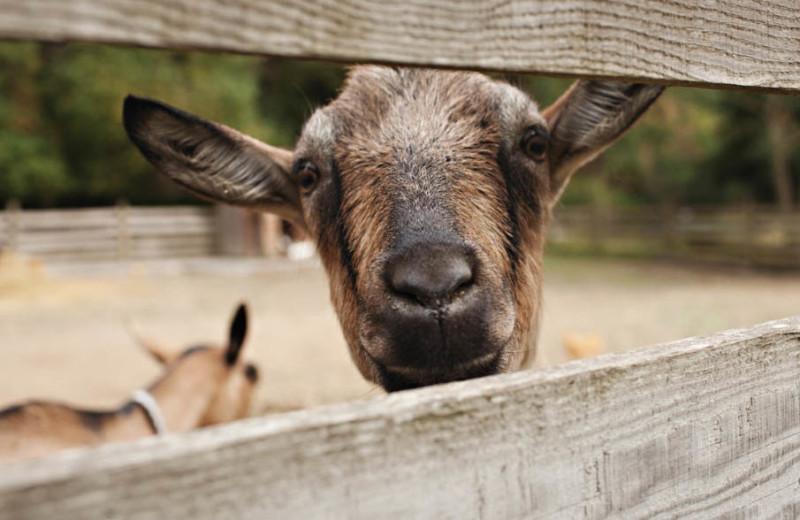Goat at Pebble Cove Farm.