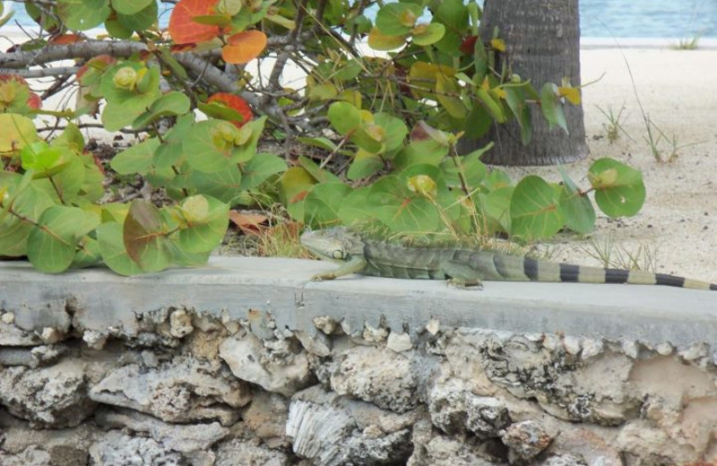 Iguana on ledge at Coral Bay Resort.