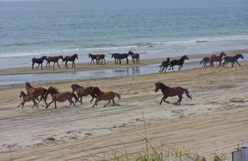 Wild horses at Outer Banks Inn.