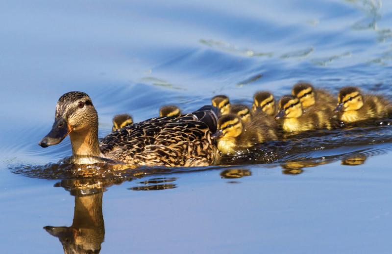 Ducks at Patterson Kaye Resort.