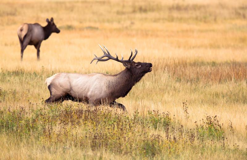Elk near Alpenhof Lodge.