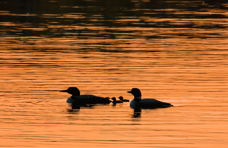 Nothing like enjoying a Loon family and their beautiful calls that echo across the lake in the evening during your campfire as you watch the sunset.  Perfect evening at the lake.