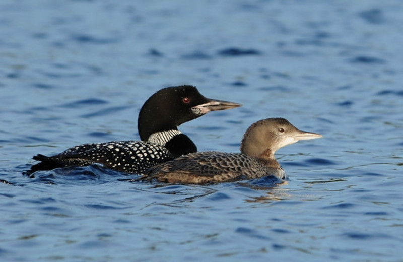 Loons at Timber Wolf Lodge Cabins.