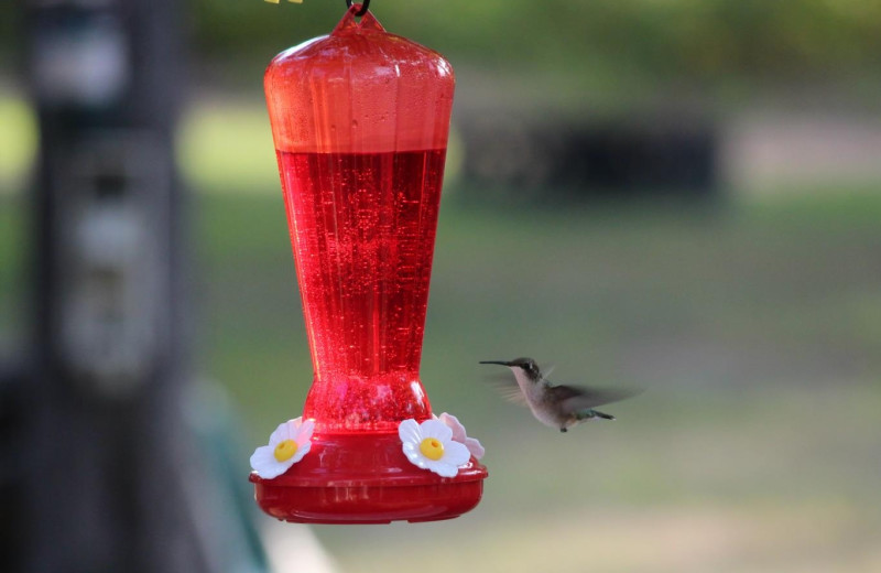 Hummingbird at feeder at Schatzi's 4 Seasons Resort.