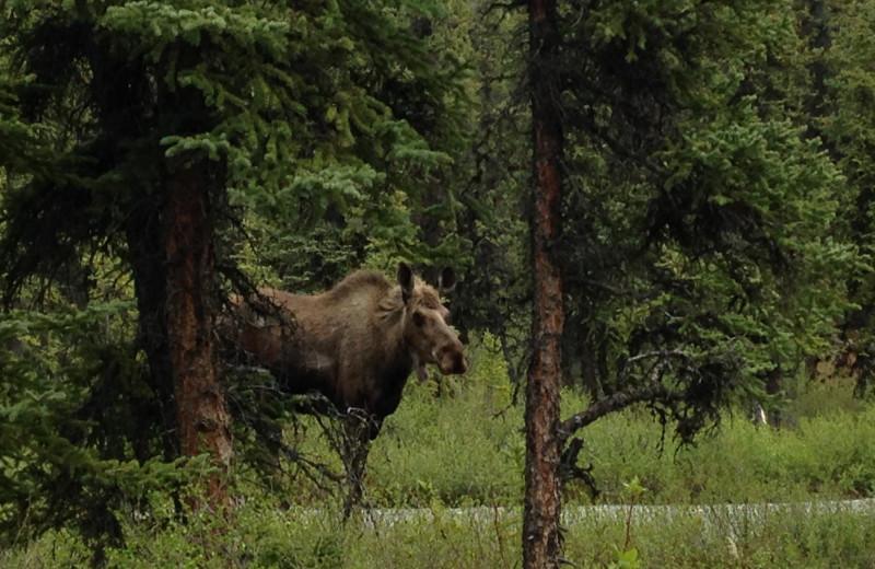 Moose at Denali Perch Resort.