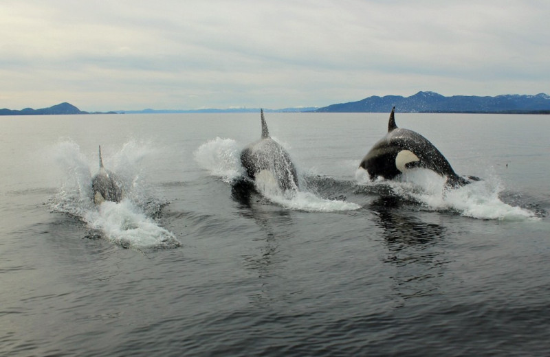 Killer whales at Yes Bay Lodge.