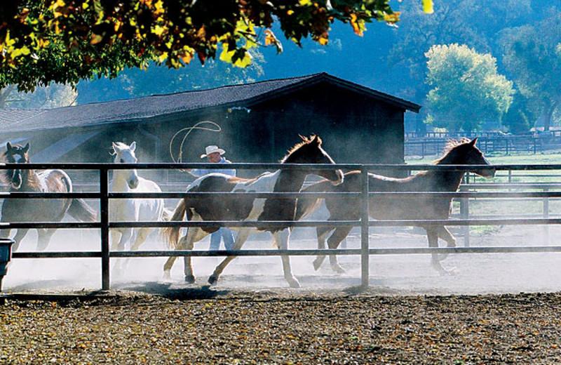 Horses at Alisal Guest Ranch and Resort.