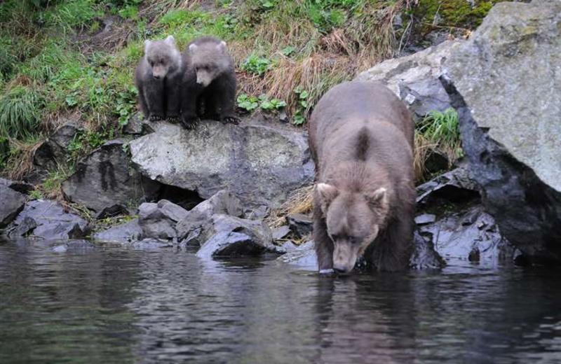 Bear watching at Gone Fishin' Lodge.