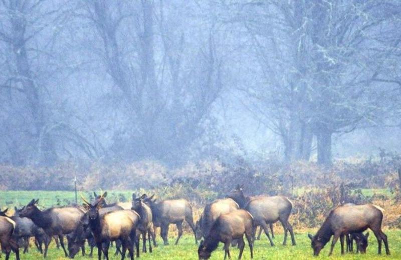 Elk herd at Packwood Lodge.
