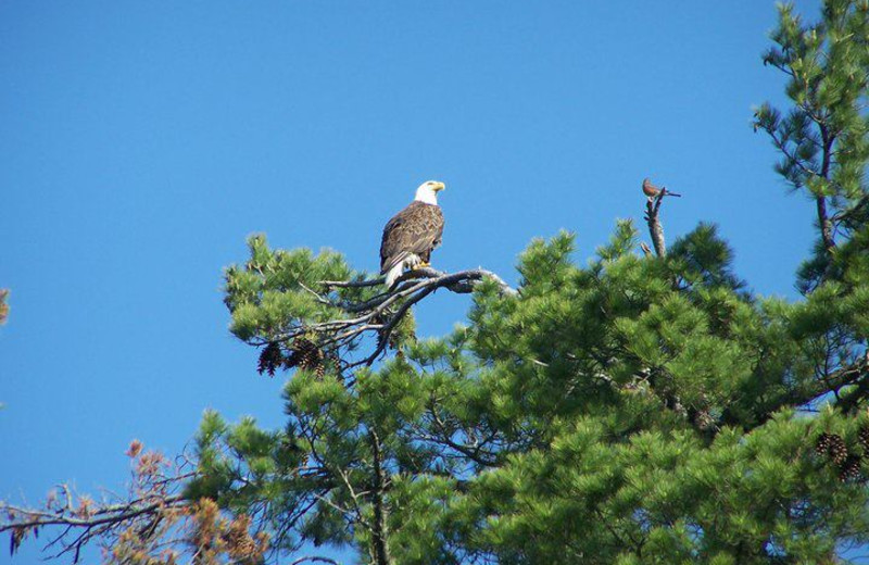Bald eagle spotted at Isle O' Dreams Lodge.