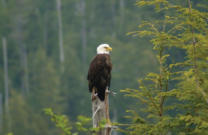 Eagle at Lund Resort at Klah ah men.