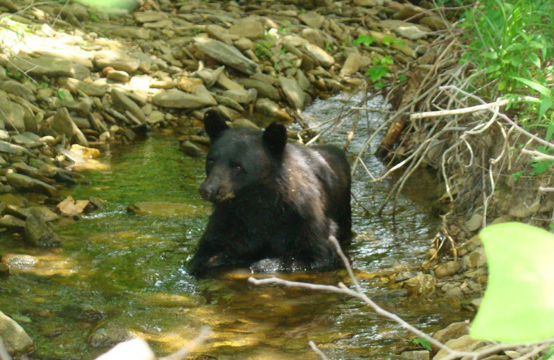 Black bears near Old Creek Lodge.