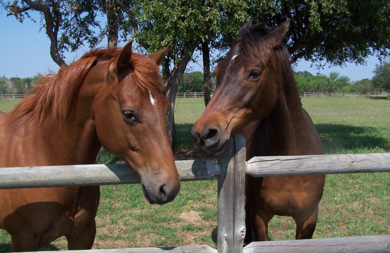 Horses at Spicewood Cottage by Lake Travis.