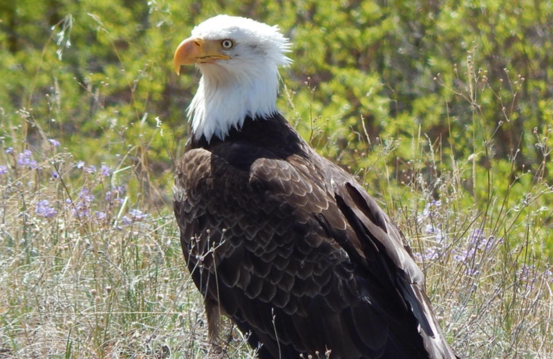 Eagle at Chaunigan Lake Lodge.
