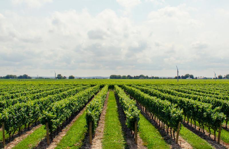 Vineyard near Aurora Park Cottages.