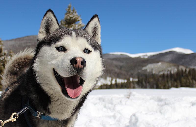 Dog sled at Grand Lodge on Peak 7.