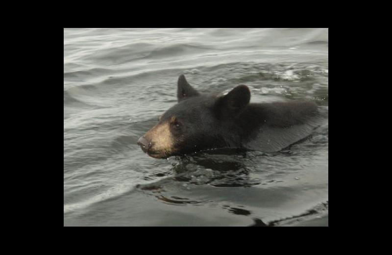 Bear at Stokes Bay Resort.