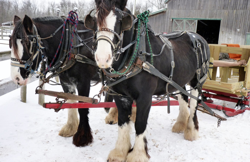 Sleigh horses at Double JJ Resort.