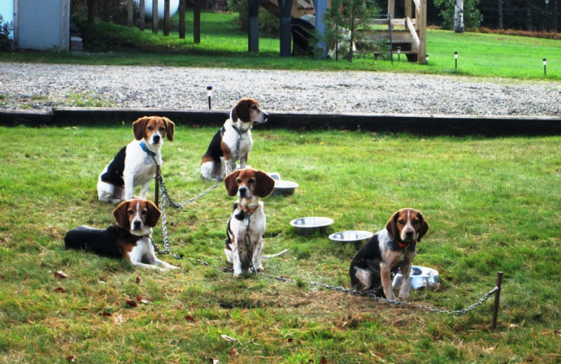 Twelve beagles are out hunting in the morning, while twelve beagles wait to hunt in the afternoon in Essex County, Canaan, Vermont's Northeast Kingdom.