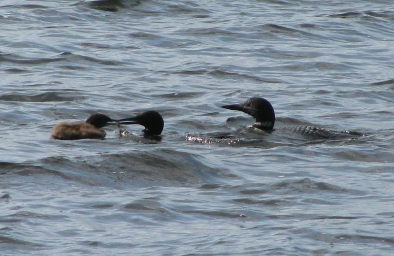 Loons at Pine Beach Resort-Side Lake.