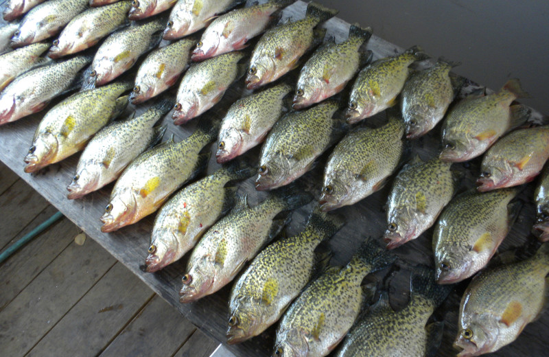 Crappies caught at Sunset Lodge.