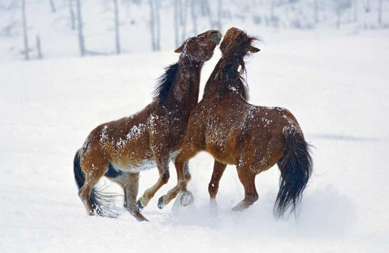 Horses playing in the snow at Vista Verde Ranch.