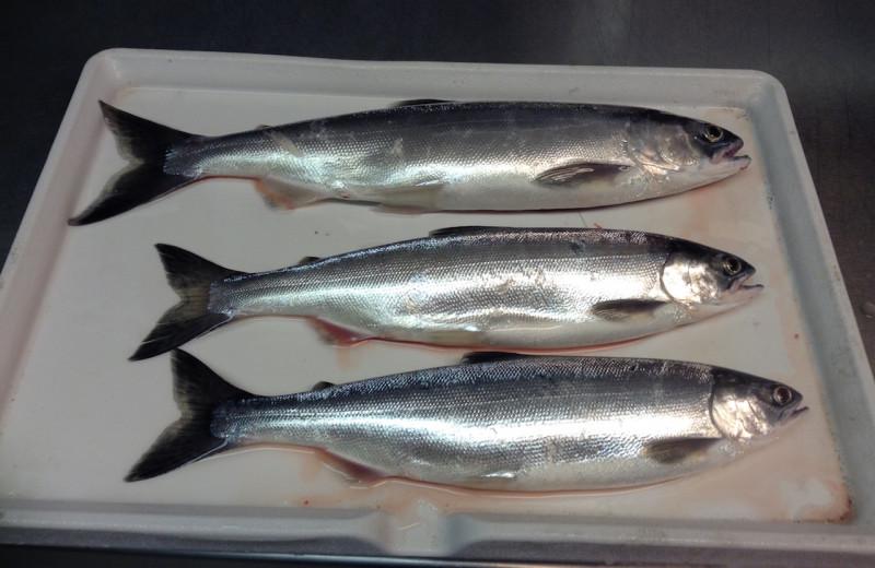 Fish at Tyee Lake Lodge.