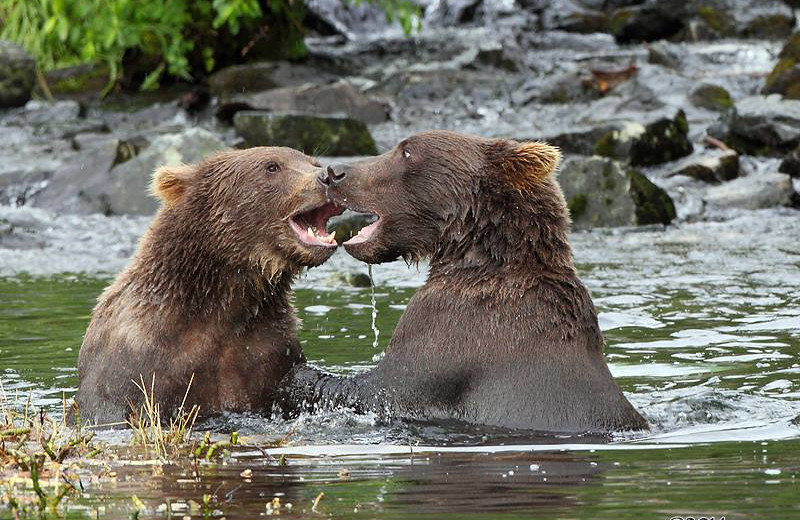 Bears at Soldotna B&B Lodge and Alaska Fishing Charters.