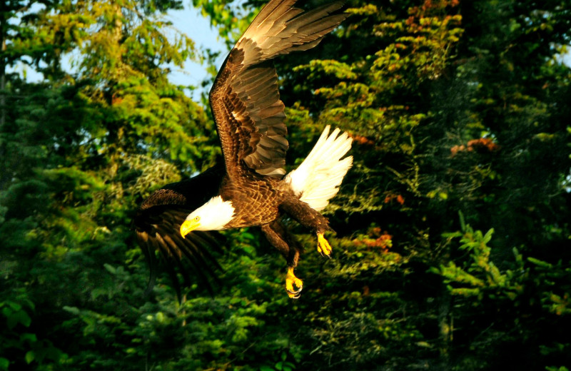 Eagle at Fishing Pipestone Point Resort.
