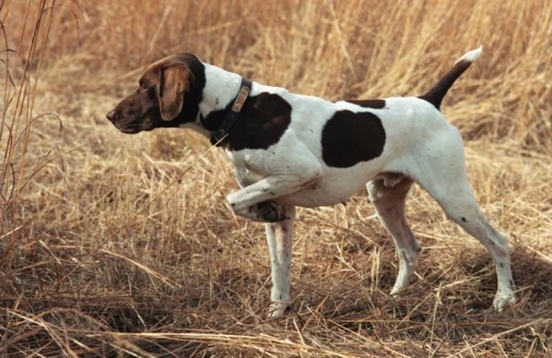 Dog pointing at Harpole's Heartland Lodge.