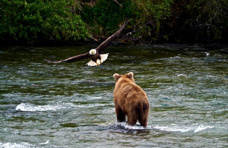 Bear and eagle at Alaska Rainbow Lodge.