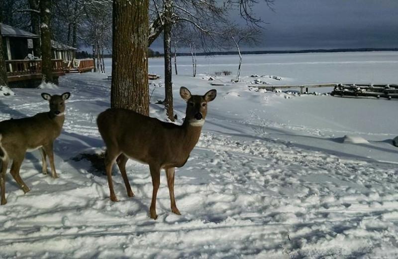Deer at Park Point Resort.