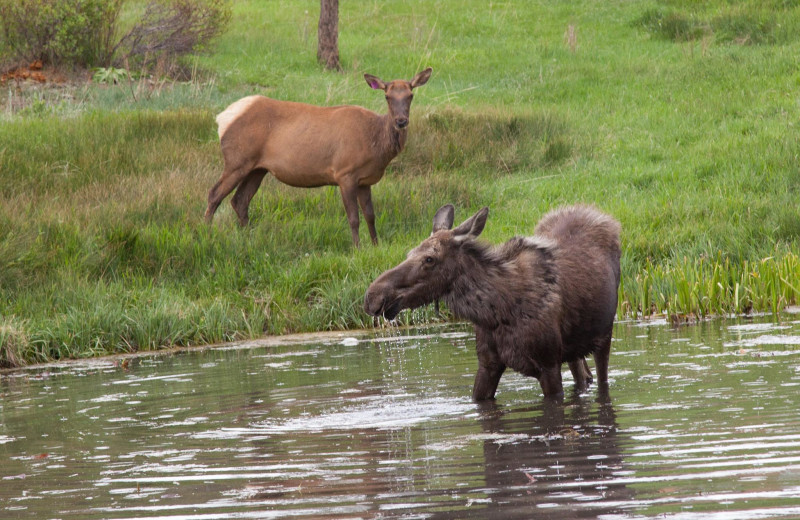 Moose at Beaver Brook on the River.