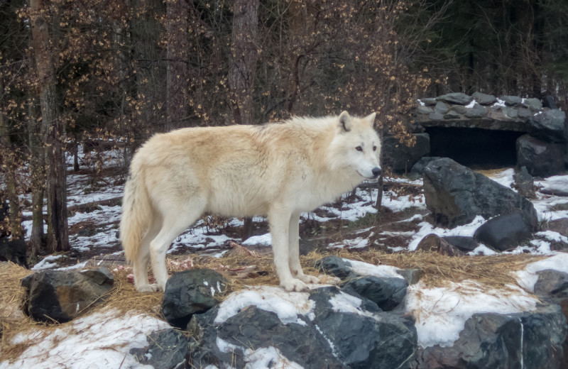 International Wolf Center near Birch Grove Resort.